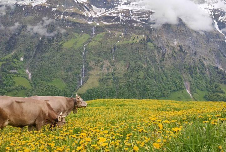 Alpaufzug auf die Alp Empächli